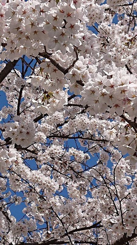 桜アップ写真.jpg